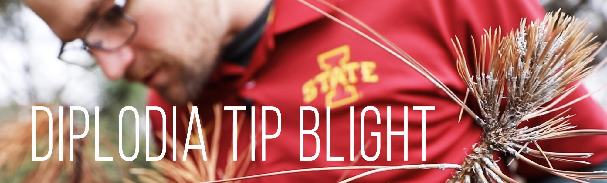 Diplodia Tip Blight